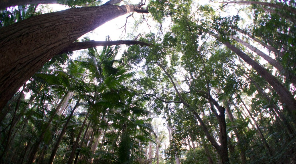 The rainforest canopy of Fraser Island